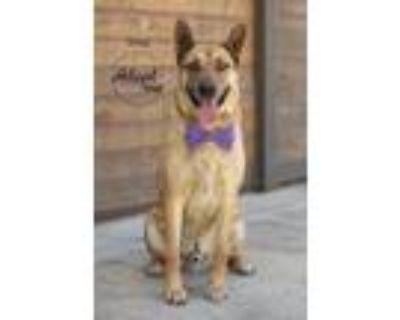 Adopt Shep a Tan/Yellow/Fawn - with Black German Shepherd Dog / Catahoula