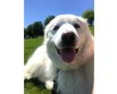 Adopt Scotia a White - with Tan, Yellow or Fawn Great Pyrenees / Mixed dog in