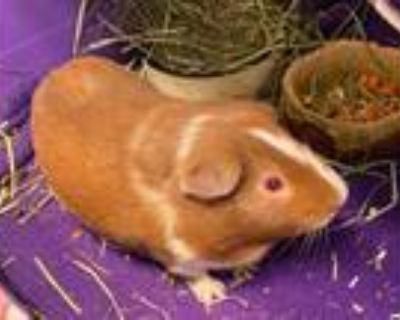 Adopt Popcorn Sutton a Guinea Pig, Short-Haired