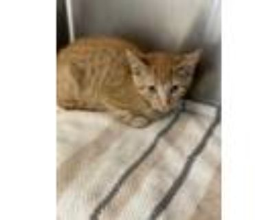 Adopt Batty a Brown or Chocolate Domestic Shorthair / Domestic Shorthair / Mixed