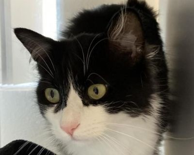 Female Domestic Short Hair named Betty Boop available for adoption
