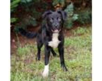 Adopt MJ 11079 a Black Labrador Retriever