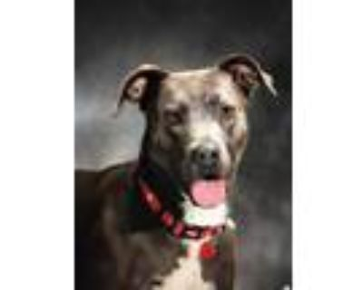 Adopt Torra a American Pit Bull Terrier / Mixed Breed (Medium) / Mixed dog in