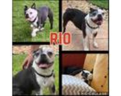 Adopt Rio a Black - with White Boston Terrier / Mixed dog in Mead, CO (31926273)