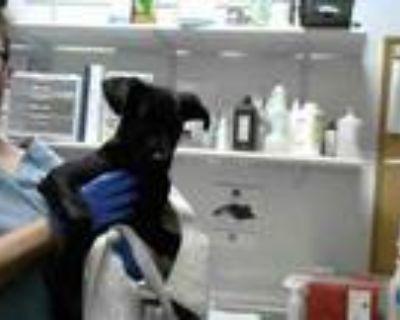 Adopt MERCUCIO a Labrador Retriever