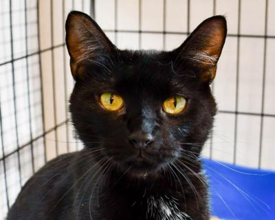 Dallas - Domestic Shorthair - Young Adult Female