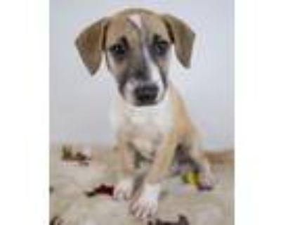 Adopt De'Andre a Shepherd, Labrador Retriever