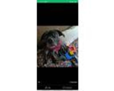 Adopt Ellie a Black - with White American Pit Bull Terrier / Airedale Terrier /