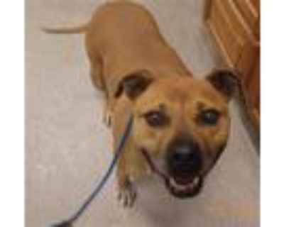 Adopt HATTIE a Tan/Yellow/Fawn - with White Boxer / Mixed dog in Indianapolis