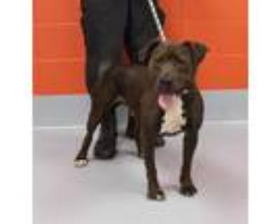 Adopt MARY PUPPINS a Brown/Chocolate - with White American Pit Bull Terrier /