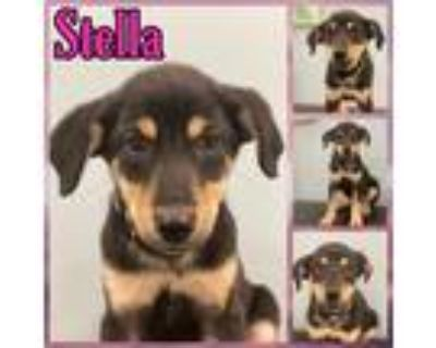 Adopt Stella a Black - with Tan, Yellow or Fawn Hound (Unknown Type) / Mixed dog