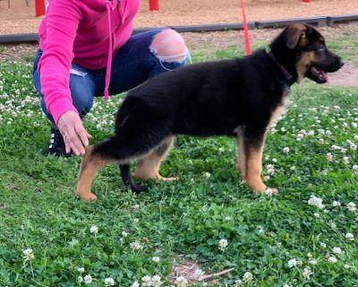 German Shepherd Dog Puppies ( west German show line)