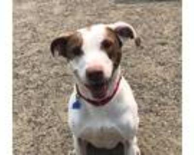 Adopt Nikita a Pointer / Labrador Retriever / Mixed dog in Golden, CO (31994157)