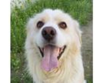 Adopt Scott Lang a White - with Tan, Yellow or Fawn Jindo / Golden Retriever /