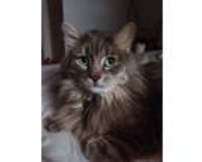 Adopt Smuff a Brown or Chocolate (Mostly) Maine Coon / Mixed (long coat) cat in