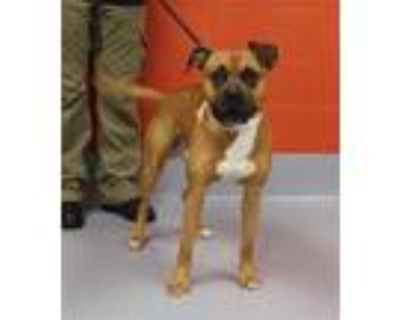 Adopt SNARLS BARKLEY a Brown/Chocolate - with White Boxer / Mixed dog in