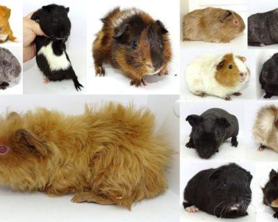 Guinea Pig Babys Super social ,Held daily, Pedigreed & More
