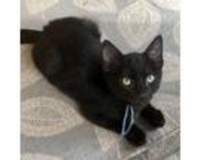 Adopt Lucien a All Black Domestic Shorthair (short coat) cat in Shreveport