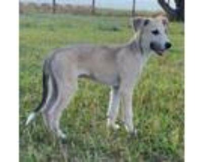 Adopt Timone a White - with Red, Golden, Orange or Chestnut Greyhound /
