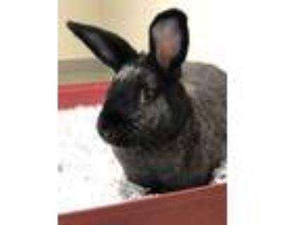Adopt Leo a Black American / Other/Unknown / Mixed rabbit in Key West