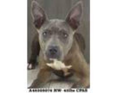 Valkyrie, American Pit Bull Terrier For Adoption In Shreveport, Louisiana