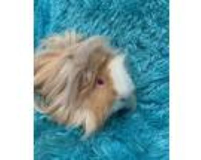 Adopt Delilah a Lilac American Fuzzy Lop / Mixed (long coat) rabbit in