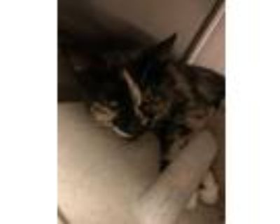 Adopt Maryl* a All Black Domestic Shorthair / Domestic Shorthair / Mixed cat in