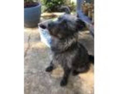 Adopt Dixon a Terrier (Unknown Type, Small) / Mixed dog in Little Rock