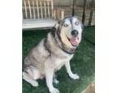 Adopt ELKIE a Gray/Silver/Salt & Pepper - with Black Siberian Husky / Mixed dog