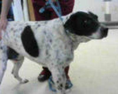Adopt SISCO a Black - with White Labrador Retriever / Mixed dog in Atlanta