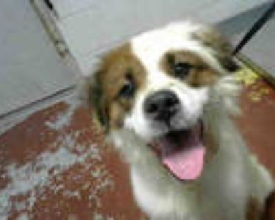 Adopt DUFFY a White - with Brown or Chocolate Collie / Mixed dog in Atlanta
