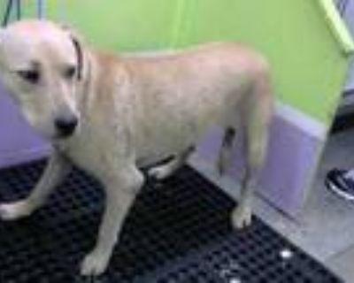 Adopt GIDGET a Tan/Yellow/Fawn Labrador Retriever / Mixed dog in Houston