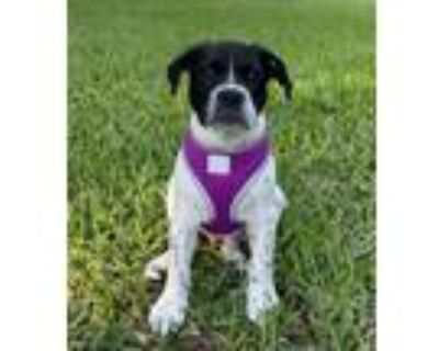 Adopt Hummer a Shepherd (Unknown Type) / Pit Bull Terrier / Mixed dog in