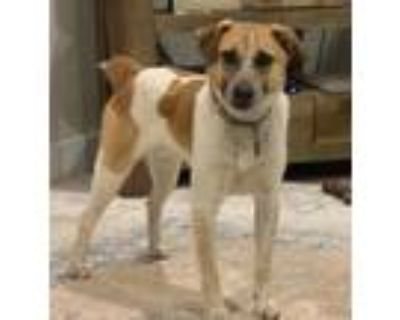 Adopt Chet a Red/Golden/Orange/Chestnut - with White Jack Russell Terrier /