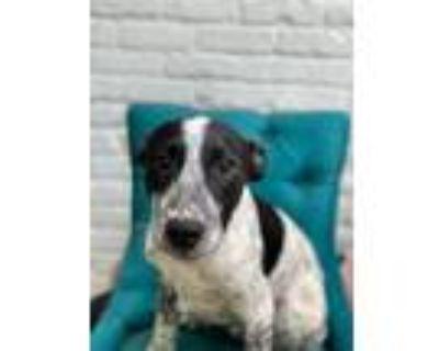 Adopt Mater a Cattle Dog, Labrador Retriever