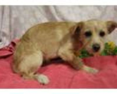 Adopt A552654 a Parson Russell Terrier, Mixed Breed
