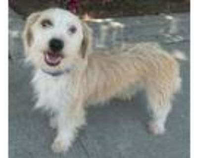 Adopt Toby a Terrier
