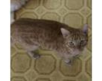 Adopt Squirt a Orange or Red Domestic Shorthair / Mixed cat in Hemet
