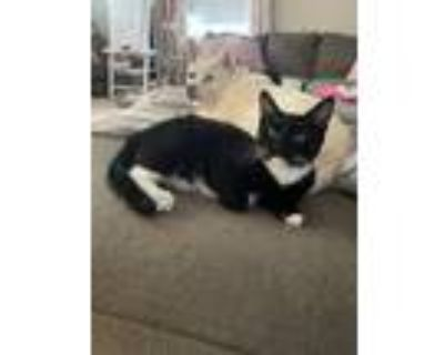Adopt Shadow a Black & White or Tuxedo Domestic Shorthair (short coat) cat in