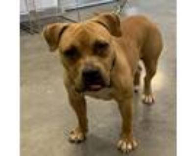 Adopt Pickles a Tan/Yellow/Fawn Pit Bull Terrier / Mixed dog in Pittsburgh