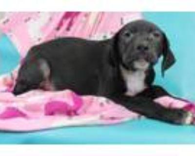Adopt Shine a Labrador Retriever, Hound
