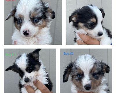 Toy Aussie Puppies