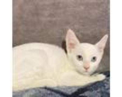 Adopt Violet a Orange or Red Siamese / Mixed cat in Westminster, CA (32042816)