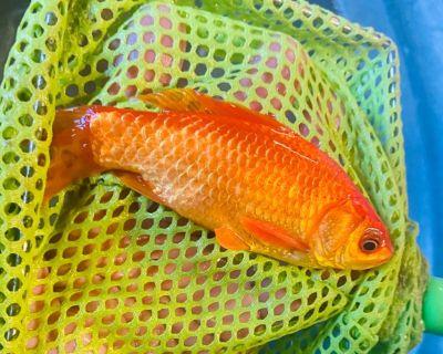 "4-6"" goldfish"