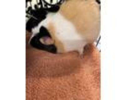 Adopt FLOOFY a Guinea Pig