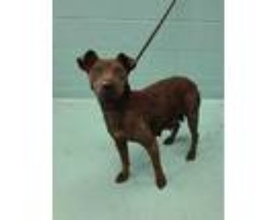 Adopt a Black Shar Pei / Labrador Retriever / Mixed dog in San Antonio