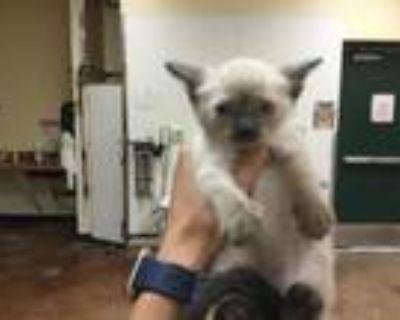 Adopt Cat a Himalayan