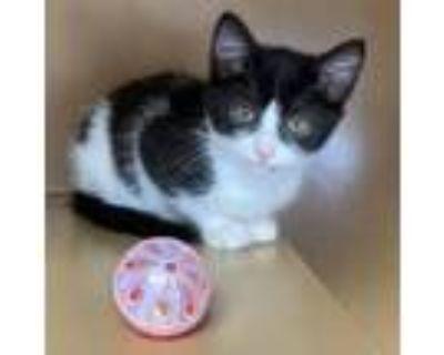 Adopt Scout -$25 a American Shorthair, Domestic Short Hair