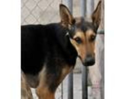 Adopt Stevie a Black - with Tan, Yellow or Fawn Doberman Pinscher / Mixed dog in