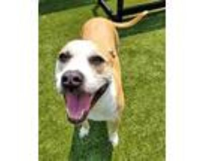 Adopt Olympia a Pit Bull Terrier, Mixed Breed